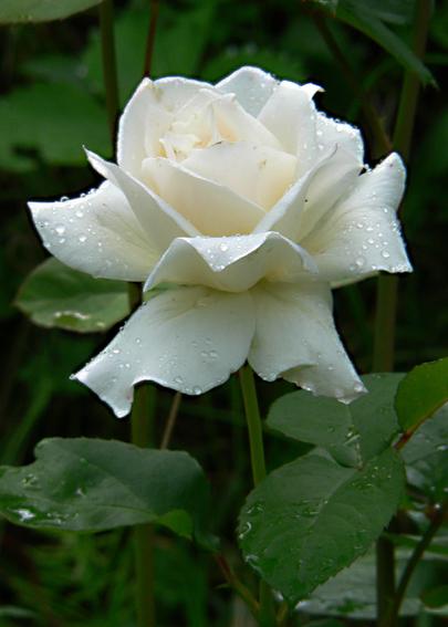 Цветы роза.