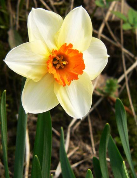 Цветы -нарцисс 1.