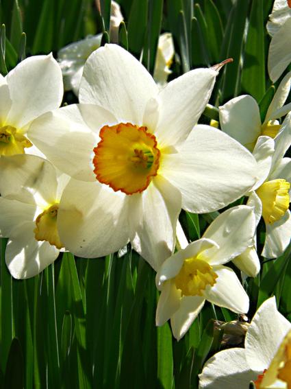 Цветы нарцисс 2.