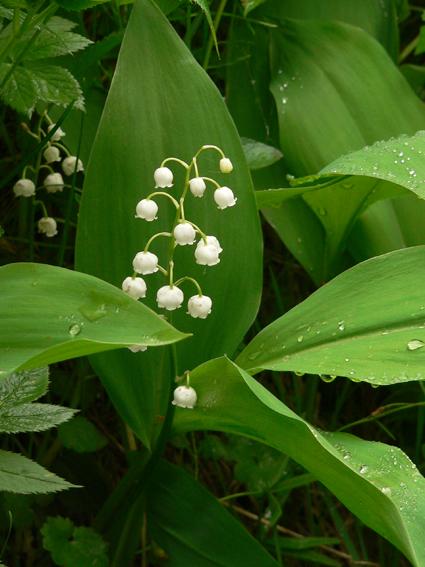 Цветы ландышы 2.