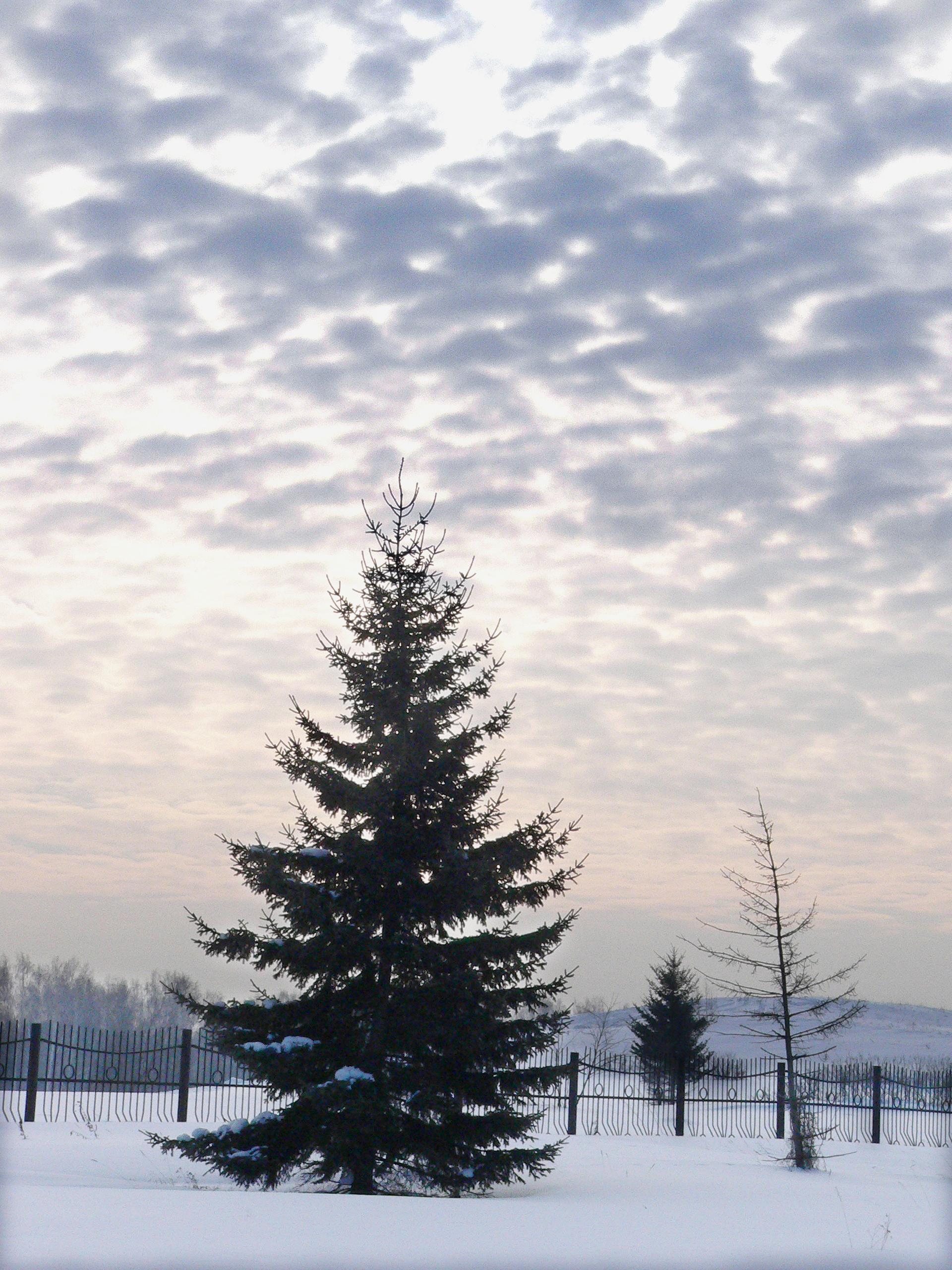 Фотография-зимы-природа-ель