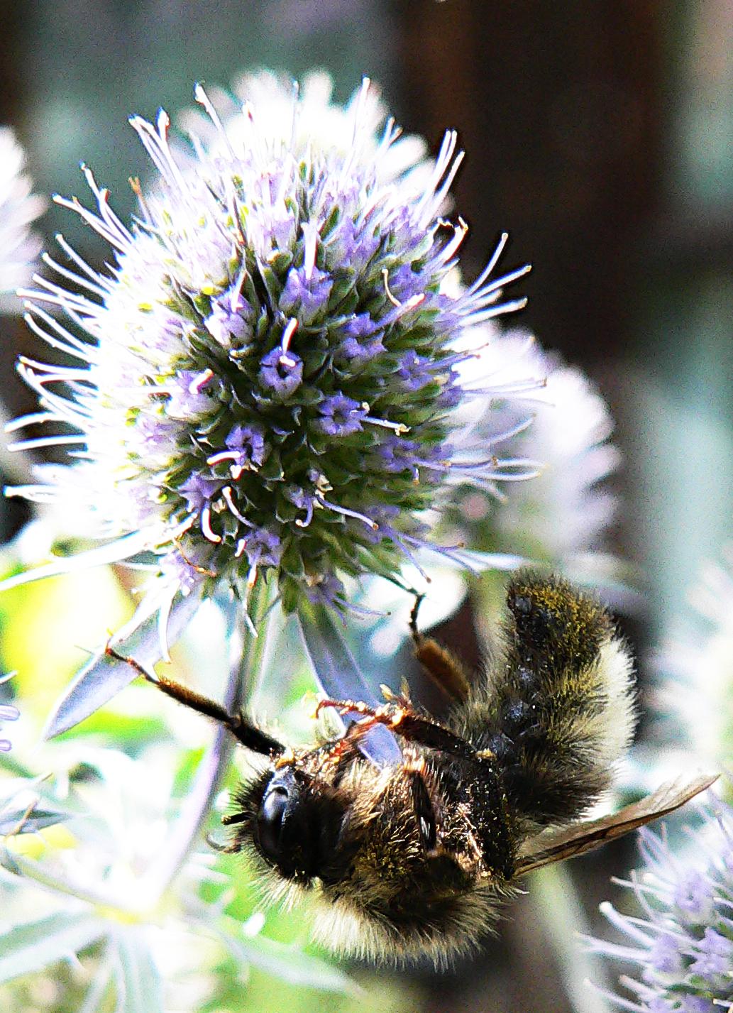 Пчела-труженница.