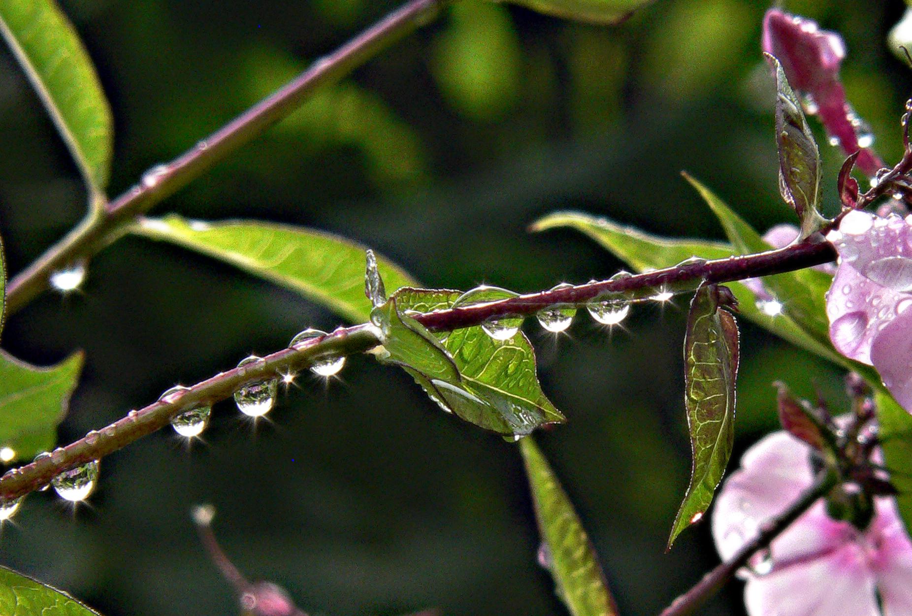 Съемка-после-дождя-капли-росы